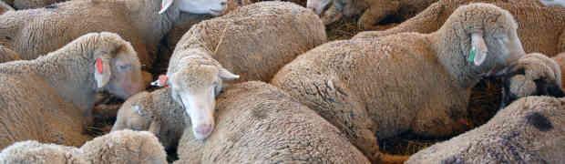 Não seja uma ovelha